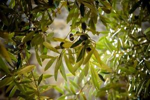 olives-789140_1920